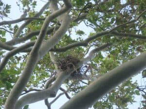 Nest of protected species - probably a heron. Photo: Supplied by reader